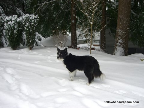 Great Pyrenees Border Collie dog in the snow