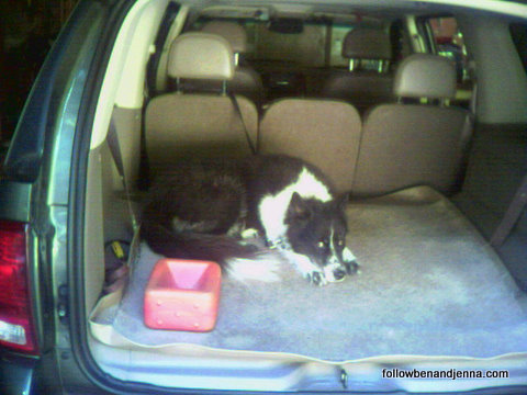 Great Pyrenees Border Collie dog in the back of an SUV