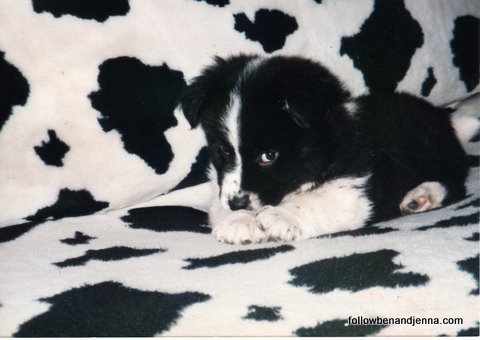 Great Pyrenees Border Collie puppy