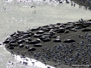 Sea lions and gulls on the Russian River