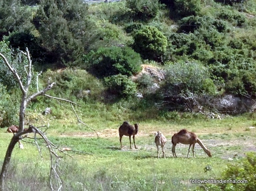 Camels in Galilee